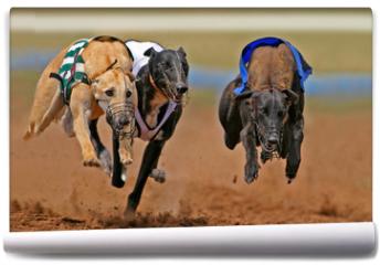 Fototapeta - sprinting greyhounds