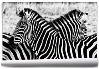 Fototapeta - Zebras in Kruger National Park, South Africa