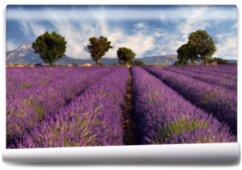 Fototapeta - Lavender field in Provence, France