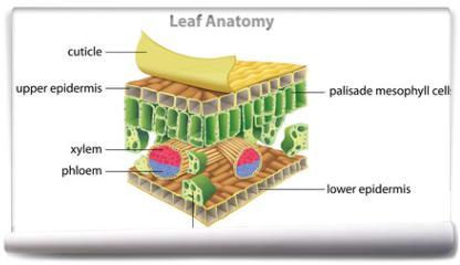 Fototapeta - Structure of a leaf