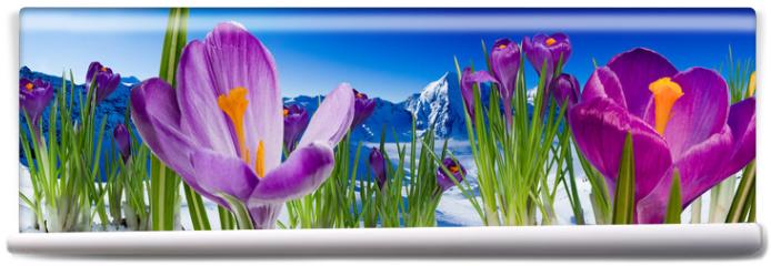 Fototapeta - Springtime in mountains - crocus flowers in snow