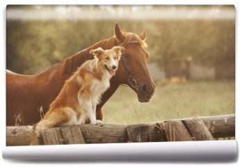 Fototapeta - Red border collie dog and horse