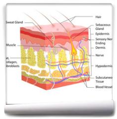 Fototapeta - Skin Anatomy