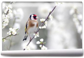Fototapeta - Goldfinch, Carduelis carduelis