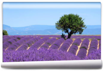 Fototapeta - Lavender field. The plateau of Valensole in Provence
