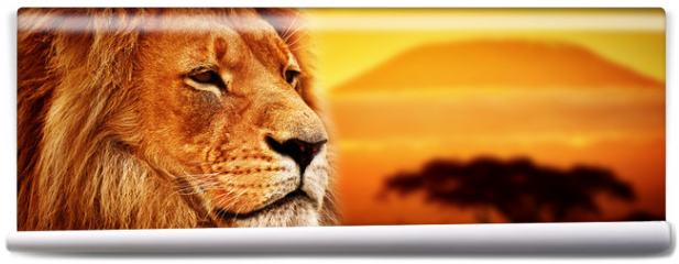 Fototapeta - Lion portrait on savanna. Mount Kilimanjaro at sunset. Safari