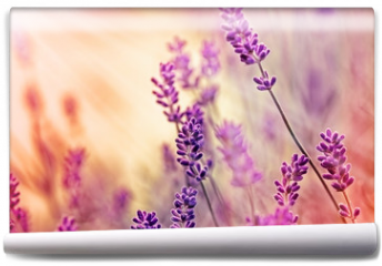 Fototapeta - Soft focus on beautiful lavender and sun rays - sunbeams