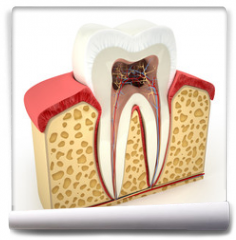 Fototapeta - Human tooth cross-section (3d model)