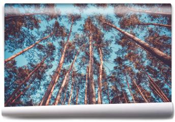Fototapeta - Silhouette of pine forest