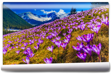 Fototapeta - Tatra Mountains, crocuses in the Chocholowska Valley