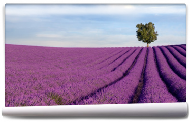 Fototapeta - Rich lavender field in Provence with a lone tree