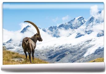 Fototapeta - Alpine Ibex (Capra ibex), Gran Paradiso National Park, Italy