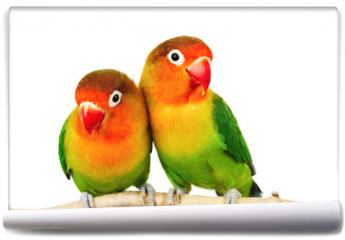 Fototapeta - Pair of lovebirds agapornis-fischeri isolated on white