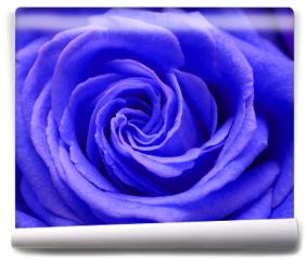 Fototapeta - Róża