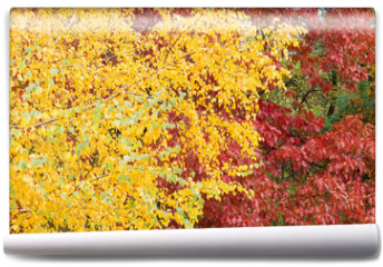 Fototapeta - Background of the birch and red oak with autumn leaves