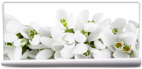 Fototapeta - Beautiful snowdrops, isolated on white