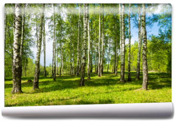 Fototapeta - Birch grove on a bright Sunny day.