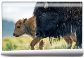 Fototapeta - Bisonte femmina con cuccioli nel parco nazionale di Yellowstone in Wyoming, Stati Uniti d'America