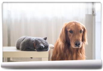 Fototapeta - British short hair cat and golden retriever