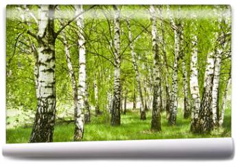 Fototapeta - Brzozowy zagajnik wczesną wiosną w pogodny dzień, Młode brzozy z młodymi zielonymi liśćmi w świetle słońca.