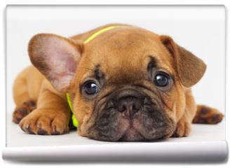 Fototapeta - cute puppy of a French bulldog looking