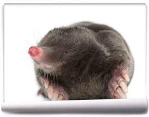 Fototapeta - European Mole, Talpa europaea, against white background