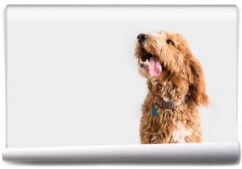 Fototapeta - Golden Doodle Dog Isolated