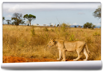 Fototapeta - Lions in Kenya, Africa
