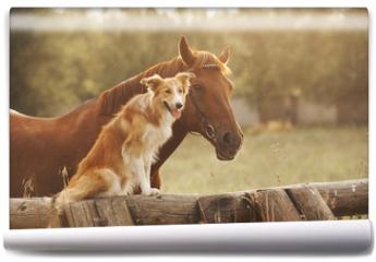 Fototapeta - Red border collie dog and horse