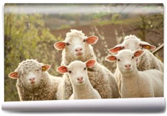 Fototapeta - Sheep on pasture