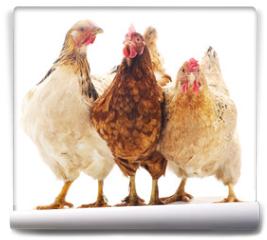Fototapeta - Three brown chicken.