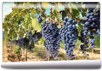 Fototapeta - tuscany wine grapes