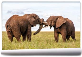 Fototapeta - Two bull elephants on the plains in the green season in Serengeti National Park in Tanzania