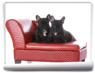 Fototapeta - two seven week old french bulldog puppies