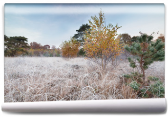 Fototapeta - yellow birch tree and small pine on frosted meadow