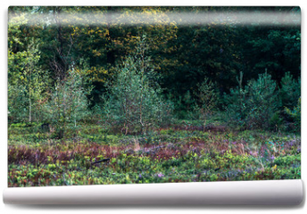 Fototapeta - Young birch trees in moorland.