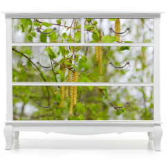 Naklejka na meble - Birch branches with young leaves and catkins on blurred background