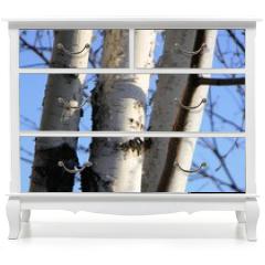 Naklejka na meble - birch on sky background