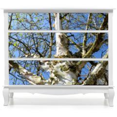 Naklejka na meble - Birkenstamm vor blauem Himmel im Frühling