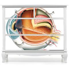 Naklejka na meble - Anatomy of the eye