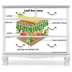 Naklejka na meble - Structure of a leaf
