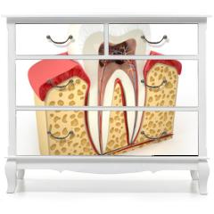 Naklejka na meble - Human tooth cross-section (3d model)
