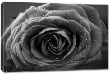 Obraz na płótnie canvas - Rose, Nahaufnahme, schwarzweiss Umwandlung