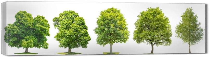 Obraz na płótnie canvas - Set trees maple, oak, birch, chestnut. Isolated objects