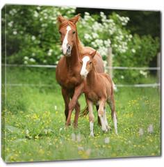 Obraz na płótnie canvas - Beautiful mare running with foal