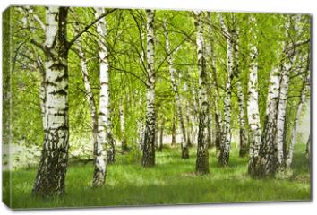 Obraz na płótnie canvas - Brzozowy zagajnik wczesną wiosną w pogodny dzień, Młode brzozy z młodymi zielonymi liśćmi w świetle słońca.