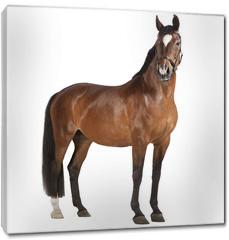 Obraz na płótnie canvas - Pferd weißer Hintergrund