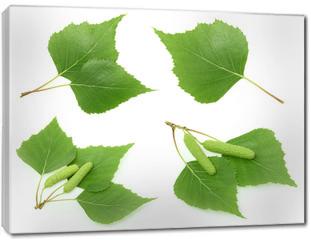 Obraz na płótnie canvas - Birch leaves isolated. set