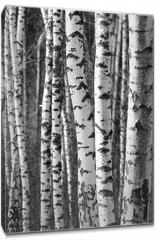 Obraz na płótnie canvas - Birch tree trunks - black and white natural background