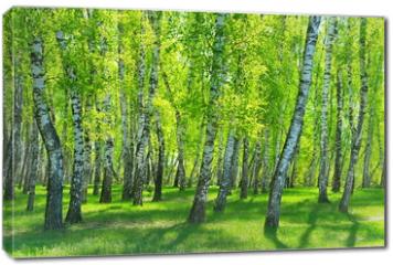 Obraz na płótnie canvas - birch grove on a sunny day